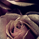 Roses 12 - 2012