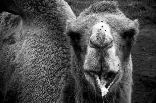 Bactrian Camel 2 - 2016