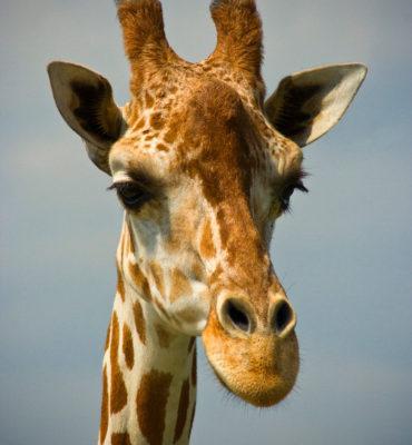 Giraffe (Portrait) - 2016
